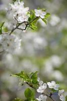 fleur de pommier photo