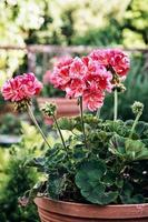 Fleurs de pélargonium rose en pot (Pelargonium hortorum) dans le ga