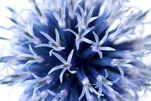 echinops bannaticus photo
