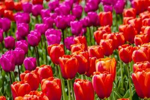 champs de tulipes de la vallée de skagit oregon photo