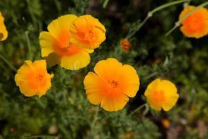eschscholzia californica photo