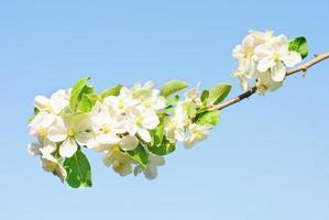 Branche de pommier avec de nombreuses fleurs sur ciel bleu photo
