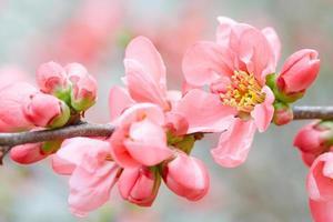 fleurs de printemps avec fleur rose et bourgeons