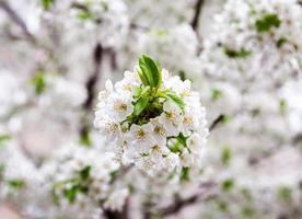 fleurs blanches de printemps. DOF peu profond