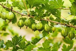 groseilles à maquereau sur un buisson dans le jardin