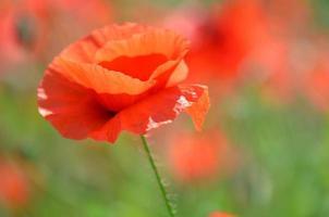 délicates et belles fleurs de pavot sur champ venteux photo
