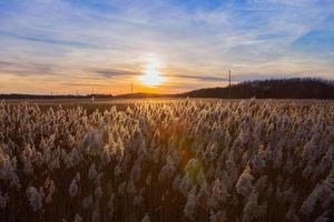 silhouette d'herbe sèche au coucher du soleil d'automne photo