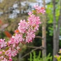 fleurs roses sur arbre. photo
