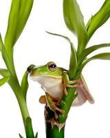 grenouille isolée sur bambou photo
