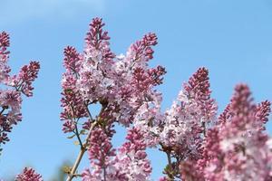 branches du lilas commun en fleurs