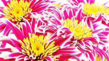 chrysanthème rouge photo