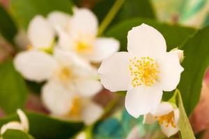 branche fleurie de jasmin photo
