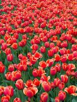 tulipes roses spéciales dans le jardin