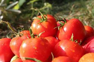 tas de tomates rouges