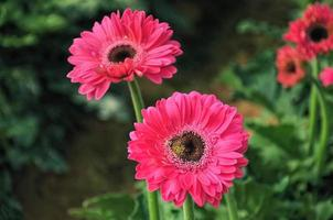 Fleurs de marguerite rose dans un jardin