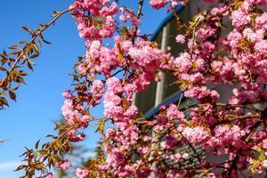 fleur d'arbre rose photo