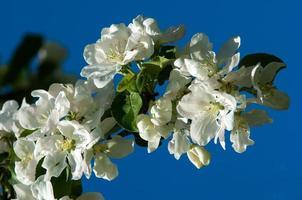 pommier en fleurs photo