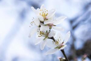 Fleur d'amandier photo