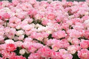 tulipes de printemps rose photo
