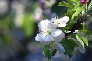 pomme fleur photo
