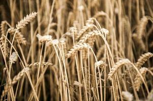 rendement en grains en automne