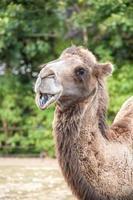 deux chameaux à bosse souriant