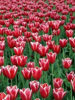 ferme de tulipes