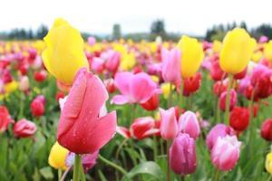 ferme de tulipes colorées photo