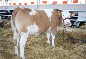 veau dans une ferme photo