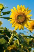 ferme de fleurs du soleil