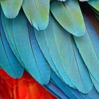 plumes d'arlequin ara photo