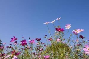 fleur de cosmos; ciel
