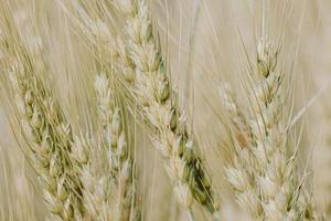 champ de blé brun photo