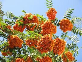 Rowanberries et ciel ensoleillé