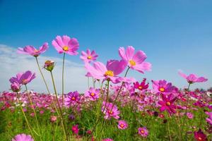 fleur de cosmos avec ciel bleu