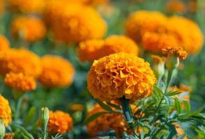 fleur jaune, souci photo