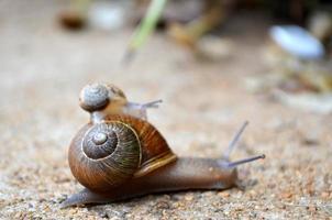 petit escargot faisant du stop sur un plus gros escargot