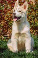chien husky sibérien à l'extérieur.