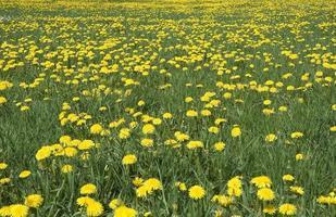 pissenlits jaunes