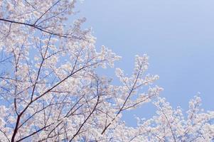 fleurs de cerisier et ciel bleu