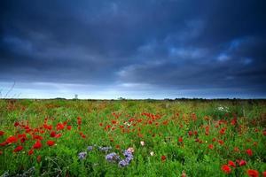champ de fleurs de pavot et ciel sombre