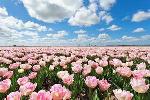 champ de tulipes roses et ciel bleu