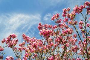 Magnolias roses sur ciel bleu