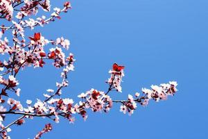 arbre en fleurs et ciel bleu au printemps