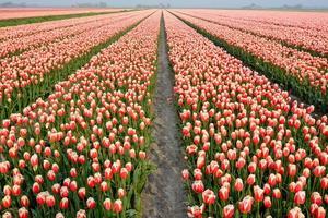 champ de tulipes avec un ciel bleu