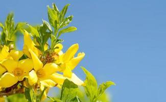 Forsysia en fleurs au printemps contre le ciel bleu