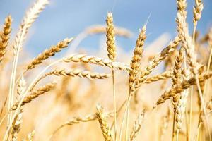 champ de blé avec ciel bleu et nuages blancs photo