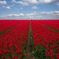 Champs de tulipes rouges néerlandais sous le ciel bleu
