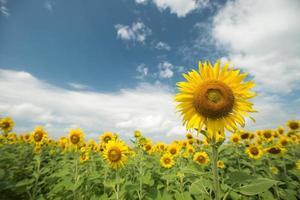 champ de tournesol et ciel nuageux photo