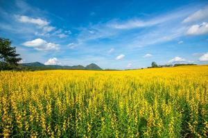 champs de fleurs jaunes et fond de ciel bleu clair photo